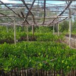 Mangrove Propagules Nursery